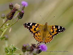 Painted Lady Butterfly 05/08/16 (johnatkins2008) Tags: painted lady summertime springtime colourful nenepark ferrymeadows johnatkins2008
