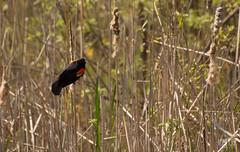 DSC_7502 (Keztik) Tags: male bird reeds reflex pond nikon  swamp dslr marais blackbird oiseau roseaux tang redwinged agelaius carouge quenouille stfrancois phoeniceus d3200 paulettes