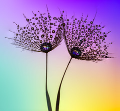 Together again (sophiaspurgin) Tags: dandelion water droplets drops dew colours silhouette