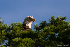 Eagle (londa.farrell) Tags: 150600 2016 canada canon canondslr canoneos7dmarkii eagle july mcgrathlake novascotia backyard eagles nature outdoor summer upperrawdon bird birdofprey wildlife tree