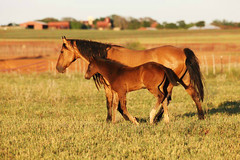 Peace, Love and Understanding (It Feels Like Rain) Tags: horses horse mare texas peace westtexas colt equine foal maresandfoals