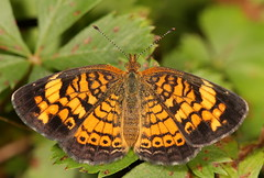 Pearl Crescent (cotinis) Tags: butterfly insect nc july northcarolina lepidoptera piedmont pearlcrescent phyciodes nymphalidae phyciodestharos bmna nymphalinae sigma150mmexdgf28macro