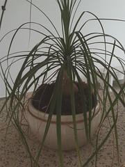Pata de Elefante  (itsnotright) Tags: pata de elefante planta beaucarnea recurvata asparagaceae ornamental paisagismo