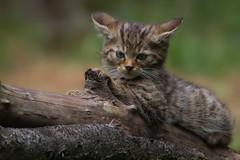 Flat ears (FocusPocus Photography) Tags: animal cat kitten feline wildlife katze wildcat tier ktzchen tripsdrill felissilvestris jungtier wildparadies wildkatze wildtier