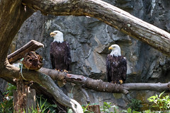 Bald Eagles (mbone1973) Tags: ri bird birds island zoo williams eagle baldeagle bald providence rhodeisland roger rhode eagles rogerwilliamszoo rogerwilliams