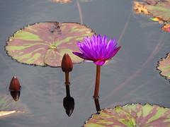 RBG Water Lily 3 (JP Newell) Tags: rbgroyalbotanicalgardens burlington ontario waterlily waterlilies lilies water garden pond