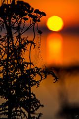 Spidery Sunset (aaronvonhagen) Tags: delta britishcolumbia canada ca vancouver sunset skyporn spiderweb goldensun landscape silhouette