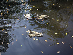 OPC 111115 120 (Jusotil_1943) Tags: opc111115 parque agua patos ducks hojas
