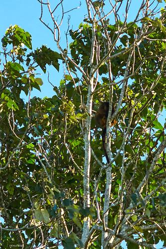 A rare Tree Kangaroo