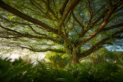 'Far Reaching' - Hilo, Hawaii (Gavin Hardcastle - Fototripper) Tags: tree hilo hawaii nature green branches park forest summer tropical gavinhardcastle fototripper love