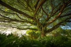'Far Reaching' - Hilo, Hawaii (Gavin Hardcastle - Fototripper) Tags: tree hilo hawaii nature green branches park forest summer tropical gavinhardcastle fototripper ♥love♥