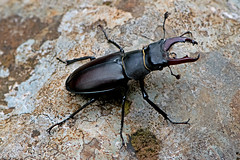 Lucanus cervus - the Stag Beetle (male) (BugsAlive) Tags: beetle beetles animal outdoor insects insect coleoptera macro nature lucanidae lucanuscervus stagbeetle lucaninae wildlife ardeche plateaudesgras stremèze liveinsects france