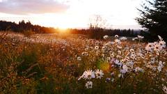 Flowers in Focus? (mattkencheng) Tags: portland sunset powell butte flowers summer panasonic lx100