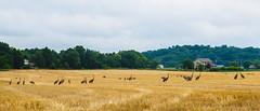 DSCF3546 (djandzoya) Tags: fujifilm vacation wisconsin xe2 xseries sandhillcranes field birds wildlife