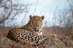 Male Leopard (Panthera pardus) resting on a termite mound (Theo Busschau) Tags: leopard panthera bigfive bigcats bushveld africa africanwildlife animal southafrica safari termitemond canon wildlife wildlifephotography wilderness nature naturephotography ngc 70d 55250mmstm maleleopard