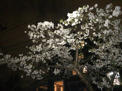 plum blossom night (dolanh) Tags: plumblossoms mttaborneighborhood night