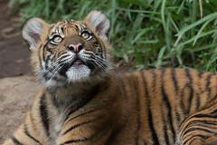 Debbie @ 6 months (ToddLahman) Tags: debbie joanne teddy sandiegozoosafaripark safaripark canon7dmkii canon100400 canon sumatrantiger tigers tiger tigertrail tigercub escondido