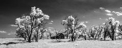 (unknown quantity) Tags: sky clouds deadtrees shadows ruts pasture abandonedhouse unpaintedwood weathered monochrome horizon shortgrassprairie infrared decay openwindows brokenroof blackandwhite cloudsstormssunsetssunrises
