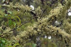 bushy beard lichen (ophis) Tags: ascomycota lecanoromycetes lecanorales parmeliaceae usnea usneastrigosa bushybeardlichen lichen