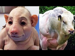 10 Craziest Animals Created By Man (contfeed) Tags: duration views verse animals facts 320 factsverse mutations shocking vines
