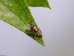 ...Spider... (Geminiature Nature+Landscape Photography Mallorca) Tags: spider araña spin mallorca raynox250 raynox dcr250 dcr macro stripes rayos rayado strepen gestreepte