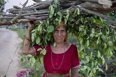 Farmer Uma Yogi returns from the forest with firewood and green fodder to feed her buffaloes in Neulapur, Bardiya. (CIMMYT) Tags: nepal csisa cimmyt maize agriculture smallholder farmer mechanization asia