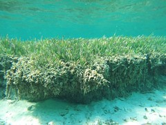 Seagrass Edge (Seascout) Tags: cococay seagrass