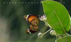 Plain Tiger Mating (Babar@Graphy) Tags: nature butterfly mating green wildlife wildlifephotography colors nikon pak asia