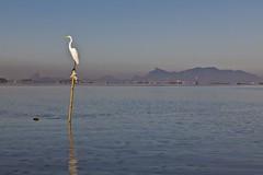 Ardea alba (Luiz Baroni Junior) Tags: 2012 ano apadeguapimirim aves baiadeguanabara cidade garabrancagrandeardeaalba guapimirim lugares paisagem riodejaneiro