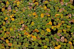 Lily pads - IMG_5575 (T. Brian Hager) Tags: fall hickoryrunstatepark pa water waterlilies green droplets autumn canon eos 7d canoneos7d colors color