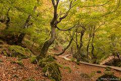 Caminando entre hayas (Photo Valdueza) Tags: arboles haya bosque otoo amarillo camino hojas ciera leon naturaleza encantado