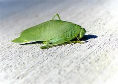 Katydid (i saw the Sign) Tags: katydid leafbug tettigoniidae bushcricket