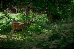 In the woods (Channed) Tags: america amerika california californi happyisletrail noordamerika us usa unitedstates unitedstatesofamerica vs verenigdestaten yosemite yosemitenp yosemitenationalpark ree deer