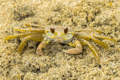 _D5M2825 (mwatts1322) Tags: ocracoke outerbanks crab sand