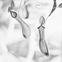 The Dance of the Pitfall Traps - B&W (SteveFrazierPhotography.com) Tags: carnivorous pitcher plant pitfalltrap pgi puntagordaisles florida fl usa america unitedstates highkey stevefrazierphotography monochrome blackandwhite blackwhite bw