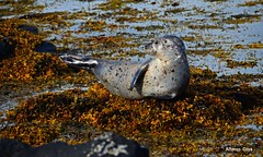 Harbour seal (alcoyote89) Tags: seal algae rock beach snaefellsnes iceland playing harbourseal phocavitulina