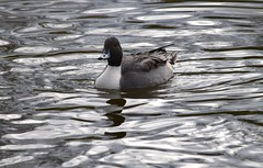 Northern Pintail (careth@2012) Tags: duck wildlife nature reflection beak feathers northernpintail waterfowl bird lake aquaticbird