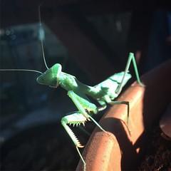 Praying Mantis in the Garden #insect #prayingmantis #garden #wildlife (dewelch) Tags: ifttt instagram praying mantis garden insect prayingmantis wildlife