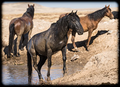 Sentinels (cuddleupcrafts) Tags: wild horses look out horse herd onaqui west desert utah water hole photography wildlife