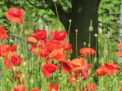 Powerful Red (katrienberckmoes) Tags: powerful red field poppys against tree silhouete landscape papaver garden wijnegem