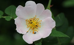 Dog Rose  260616 (3) (Richard Collier - Wildlife and Travel Photography) Tags: flowersenglishflowers flowers wildflowers flora dogrose macro