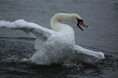 A Swan having a bit of a mad moment ? (Barry Miller _ Bazz) Tags: wildfowl widnes cheshire canal swan water canon 5d mark 3 lens l 300mm f4