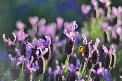 Buzz #2 (Ben Bishop.) Tags: bee macro flower plant plants flowers floral f18 nikkor nikon d90 nikond90 melbourne benfrommelbourne aperture