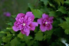Flors... Parc de Cervantes. (svet.llum) Tags: barcelona catalunya catalua parque parc parcdecervantes flor flores planta