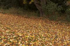 natures carpet (veras_city) Tags: maple escarpment fallcolours fallenleaves