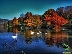 Schwne im Herbst (flieger1964) Tags: deutschland germany greiz thringen thuringia herbst autumn natur tiere vogtland farben hdr europa