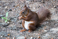 Tortusson visitor RHB_2831 (Ruth Flickr) Tags: red holiday france squirrel europe young 2014