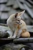 Fennec Fox (ray2pixel) Tags: nikon korea safari fox themepark fennec everland 2014 fennecfox d610
