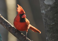 Northern Cardinal, male (hennessy.barb) Tags: red male bird cardinal conestee perching