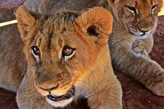Cachorros (Campanero Rumbero) Tags: africa beauty southafrica day view natural dia safari lions felinos animales cachorros mirada pretoria reserva leones bebes bello